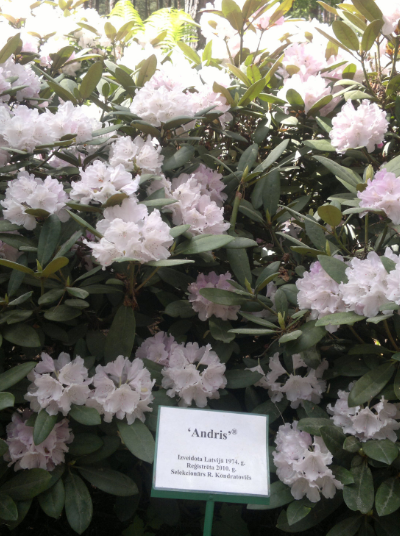 Rododendrs Andris